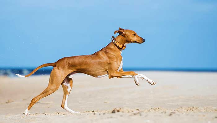most expensive dog breeds 2020