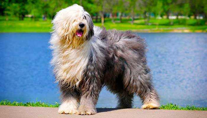 expensive dog breeds 2020