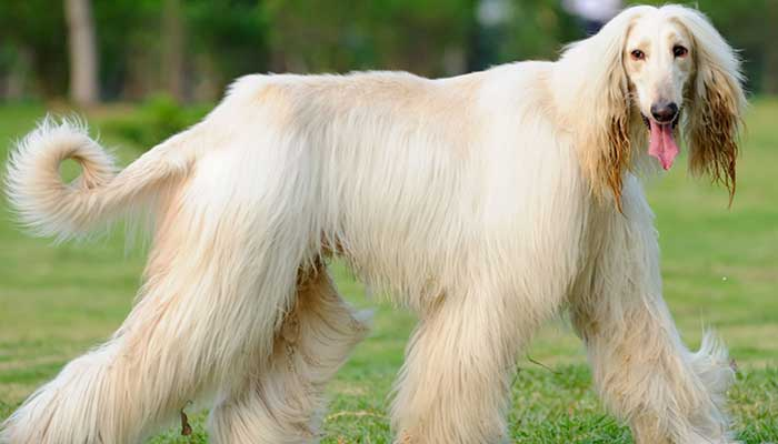 most expensive dog in the world 2020