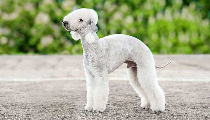 most expensive dog breed in the world 2020