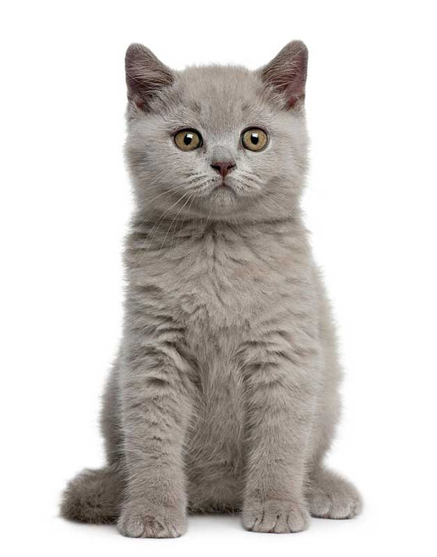 most expensive cat breeds 2021