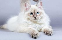 most expensive cat in the world
